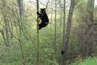 treebears